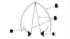 glottis-vocal-folds